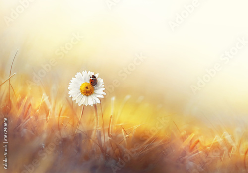 Fotobehang - Beautiful natural background of golden color with chamomile and ladybug macro. Colorful elegant gentle tender artistic image of a hot sunny summer ou