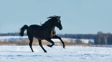 Fotobehang - Pure Bred Spanish black stallion gallops on snow meadow