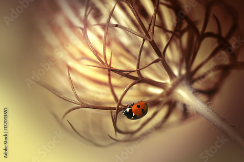 Fotobehang - Ladybug on beautiful fluffy unusual plants flower summer spring outdoors. Beauty Insect on glowing flower close-up macro on golden blurred background.