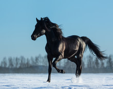 Fotobehang - Pure Bred Spanish black stallion trotting on snow meadow