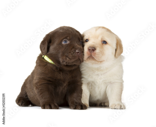 Fotobehang - Chocolate & Chocolate Labrador Retriever Puppies
