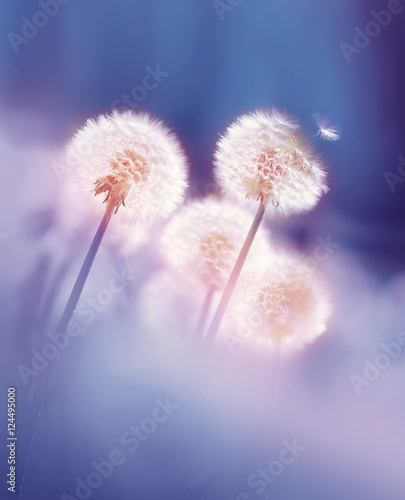Fotobehang - Dandelions in the morning sun on a blue background. Seeds of dandelion wind blows.