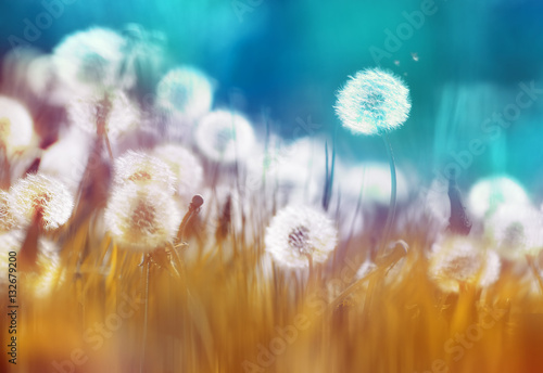 Fotobehang - Easy air glowing dandelions with soft focus in grass summer sun morning outdoors close-up macro on blue gold background. Romantic dreamy artistic imag
