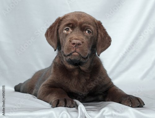 Fotobehang - chocolate labrador retriever puppy