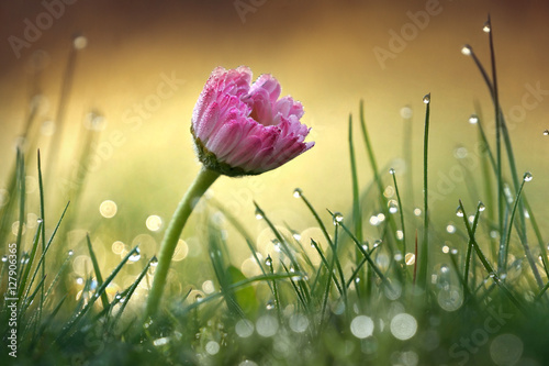 Fotobehang - Beautiful flower pink daisy with soft focus of a summer morning in the grass with dew in the sunlight close-up macro. Romantic gentle elegant artistic