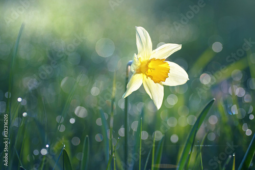 Fotobehang - Beautiful big white narcissus flower in the grass in the sun shines in the morning in the spring summer outdoors. Beautiful circular bokeh, morning de