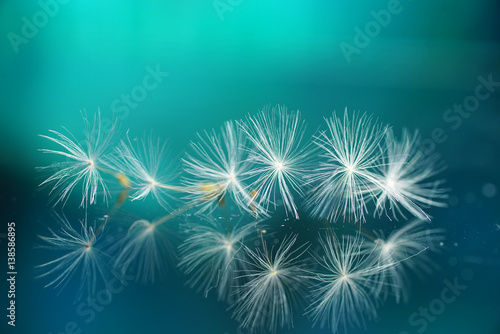 Fotobehang - Seeds of dandelion flowers on a mirror with reflection on a turquoise background. Air soft image template Border.