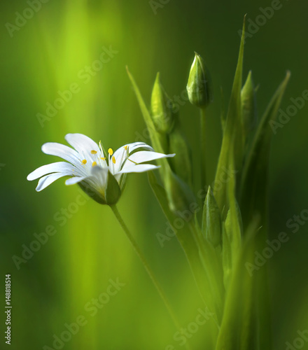 Fotobehang - Surprisingly beautiful soft elegant white spring small flower with buds on a green background in the rays of sunlight macro. Beautiful exquisite grace