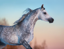 Fotobehang - Gray purebred Arabian horse on background of evening sky