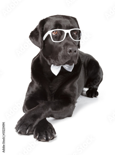 Fotobehang - Black Labrador Retriever