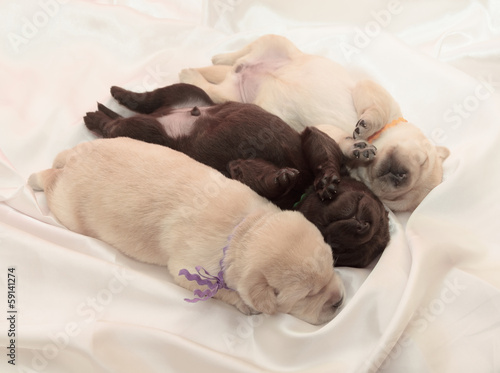 Fotobehang - three labrador retriever puppies