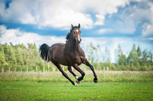 Fotobehang - Beautiful warmblood horse running on the field in summer