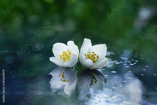 Fotobehang - Two jasmine flowers after the rain on a mirror surface with a beautiful natural background and reflection. White flowers with water drops macro.