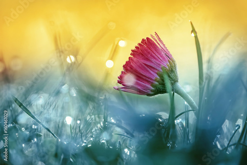 Fotobehang - Beautiful pink daisy flower in grass on nature in the sunshine macro on toned gold and turquoise background. A daisy flower in the summer morning in d