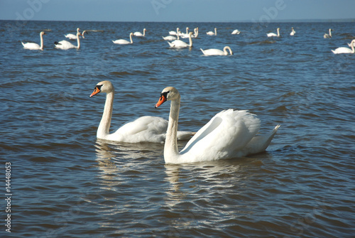 Fotobehang - Swans in the sea
