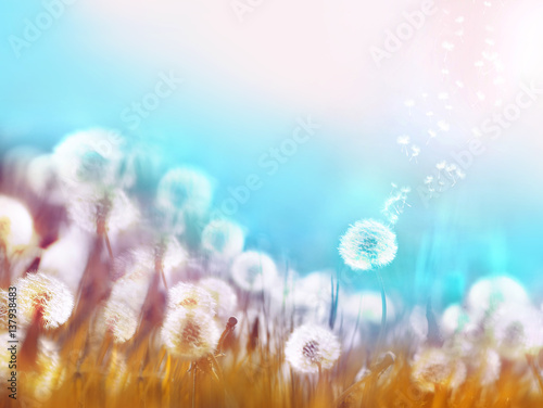 Fotobehang - Spring summer floral border template. Air glowing dandelions flying in wind with soft focus sun morning outdoors macro on light blue background. Roman