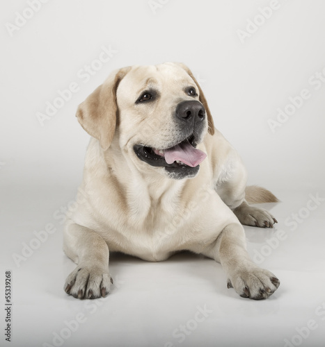 Fotobehang - Yellow Labrador Retriever in sepia tone