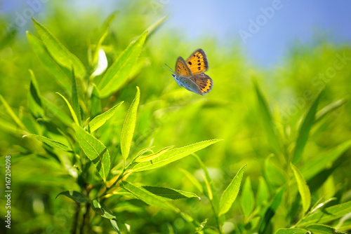 Fotobehang - Beautiful nature background with foliage tree globular willow and waving butterfly in summer or spring. Fresh green foliage in nature outdoors in the