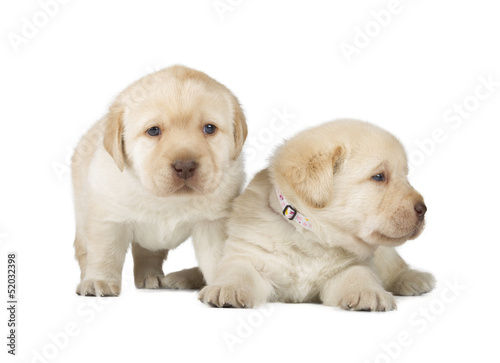 Fotobehang - Two Yellow Labrador Retriever Puppies