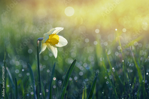 Fotobehang - Narcissus flower in the morning sun and a drop of dew on the grass. Very beautiful bokeh.