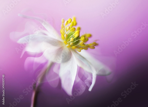 Fotobehang - Big beautiful white spring anemone flower close-up of a macro on a purple background with fluttering petals in the wind with a soft focus. Elegant gen