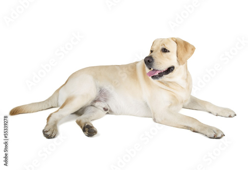 Fotobehang - Yellow Labrador Retriever Smiling